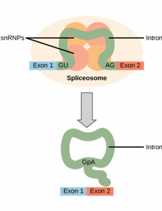 """Oval labeled as """"spliceosome"""" with a molecule inside with the sequence, Exon 1, intron, Exon 2. The intron is squeezed together on top of circles labeled as snRNPs. Arrow is pointing to final molecules: which is an intron in a circle and a molecule with Exon 1 and Exon 2."""