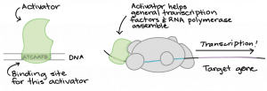 """Activator binds to site on DNA labeled as """"binding site for this activator."""" The activator helps general transcription factors and RNA polymerase assemble, and then transcription occurs of the target gene."""