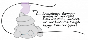 Activation domain binds to general transcription factors or mediator and helps begin transcription; image includes a DNA molecule surrounded by a complex of circles (representing proteins) and DNA molecule is folded over to meet the proteins.