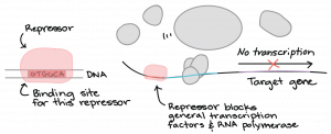 """Repressor binds to site on DNA labeled as """"binding site for this repressor"""". The repressor blocks general transcription factors and RNA polymerase. Transcription of the target gene does not occur."""