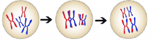 Image of three cells: one cell has 2 red and 2 blue chromsomes (with chromatid replicates); an arrow points to the next cell, which has the same chromsomes as the first, but each red one is overlapping with a blue one; another arrow points from the 2nd cell to the third cell, which has the four chromosomes but the red ones have a portion of blue and vice versa.
