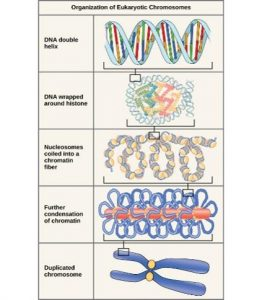 Organization of eukaryotic chromosomes: A DNA molecule is a double helix that wraps around histones; a histone with DNA wrapped around it is called a nucleosome; nucleosomes coil into a chromatin fiber; the chromatin further condenses into what is called a chromosome.