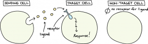 """Image of three cells. Sending cell has small circles coming out of it labeled as ligand. The next cell is the target cell and it has a something in the cell membrane labeled as a receptor. Arrows pointing within the cell are labeled as """"response!"""". The third cell is labeled """"non-target cell,"""" it does not have anything in the cell and it is labeled """"no receptor for ligand."""""""